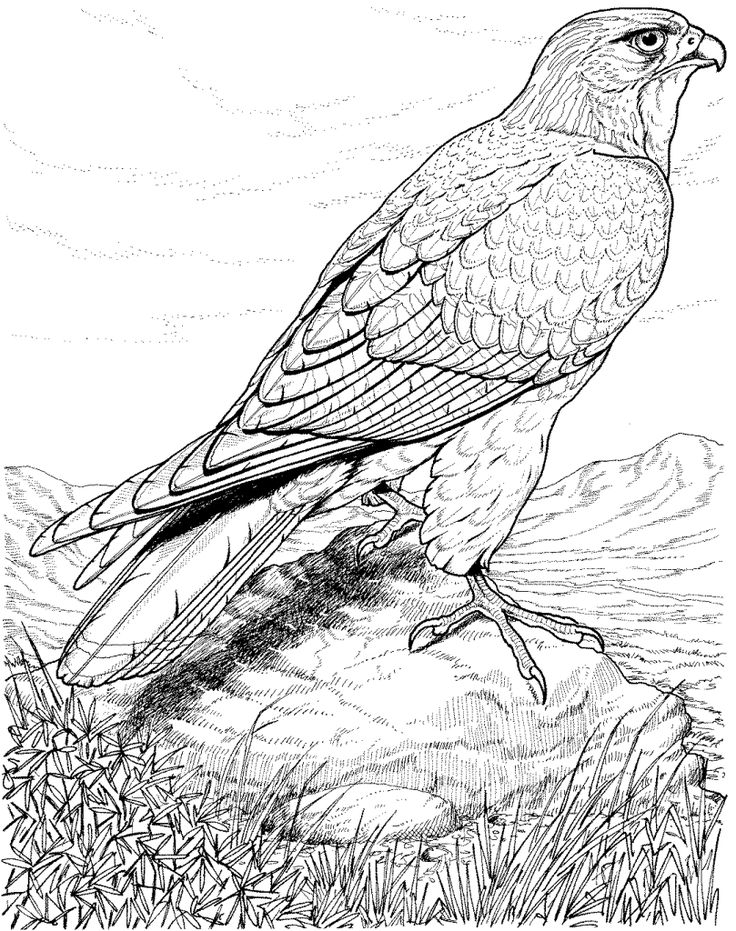 bird coloring pages for adults real life looking coloring pages of detailed hawk bird for adults pages coloring bird