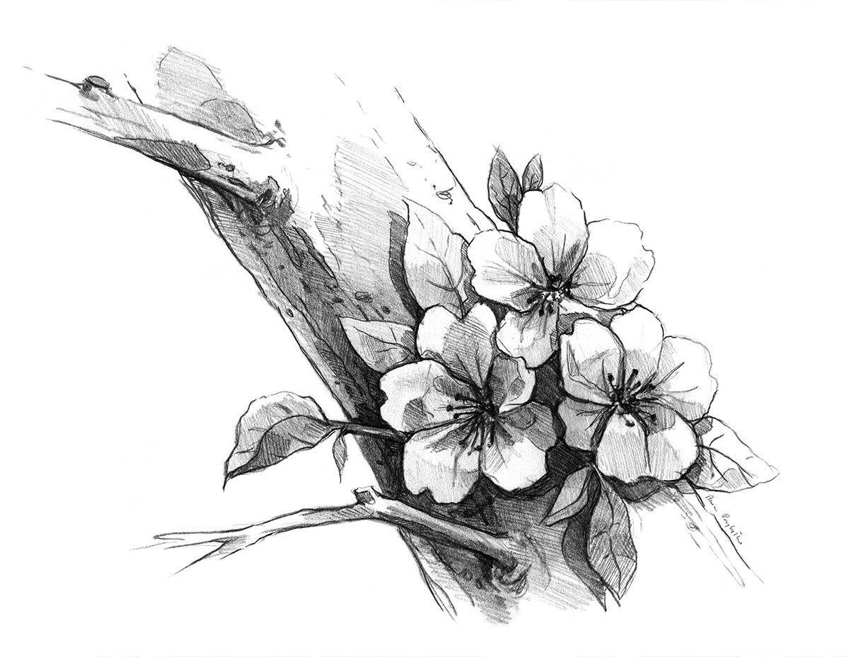 blossom tree drawing apple tree blossoms drawing blooming apple tree flowers tree drawing blossom