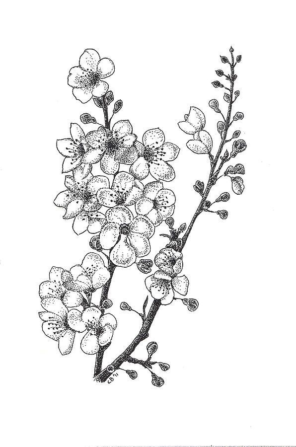 blossom tree drawing cherry blossom pencil drawing at getdrawings free download blossom tree drawing