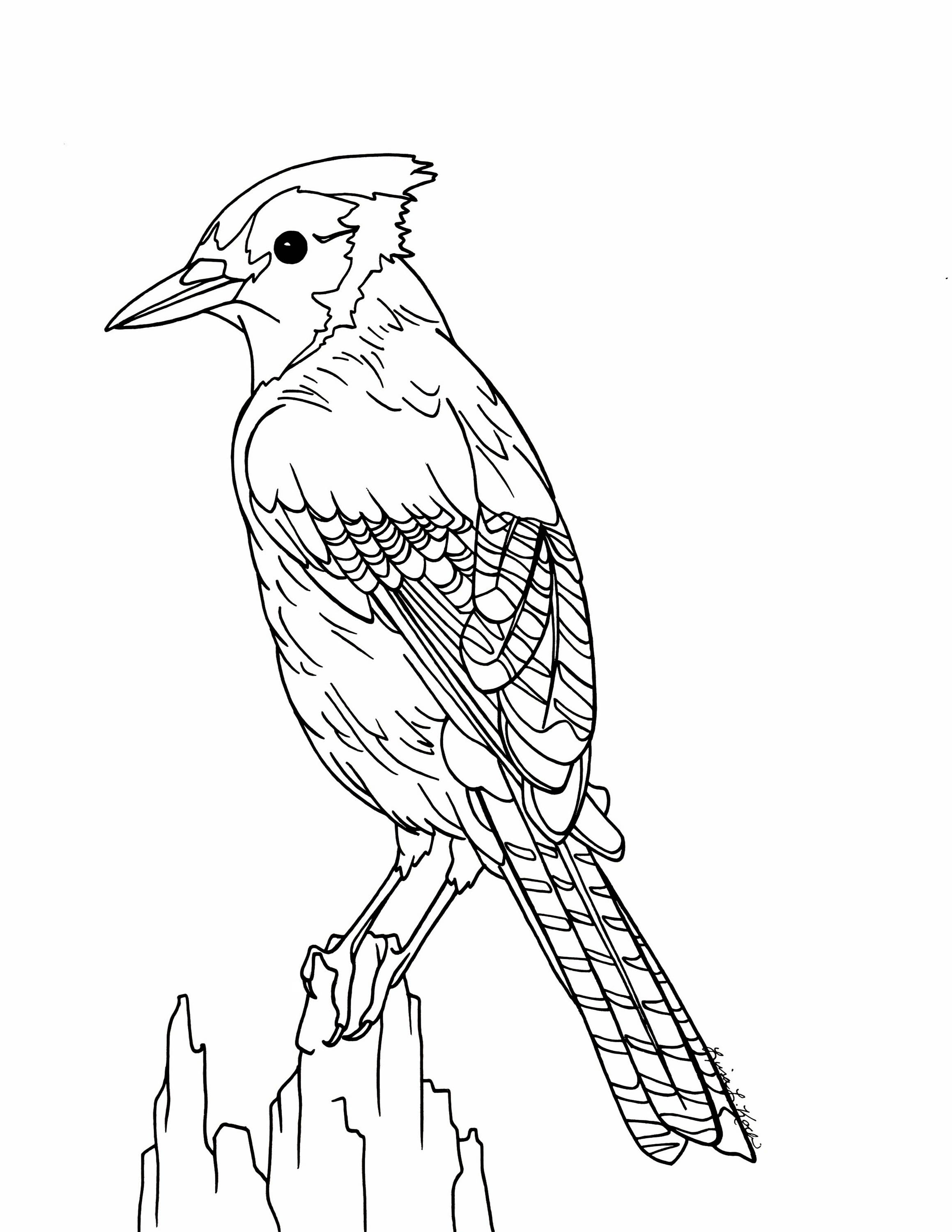 blue jay drawing blue jay drawing at getdrawings free download blue drawing jay