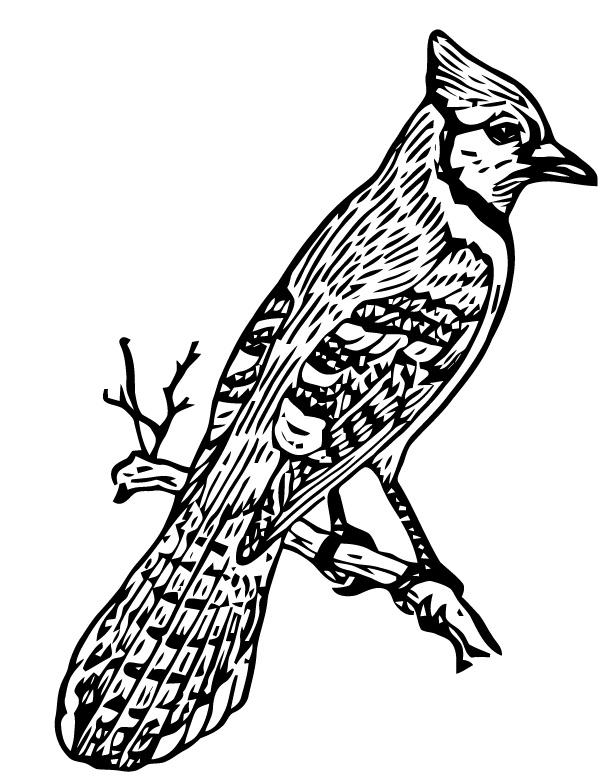 blue jay drawing blue jay drawing at getdrawings free download jay blue drawing