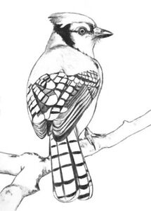 blue jay drawing blue jay drawing at getdrawings free download jay blue drawing 1 1