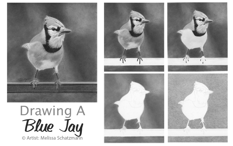 blue jay drawing blue jay drawing at getdrawings free download jay drawing blue