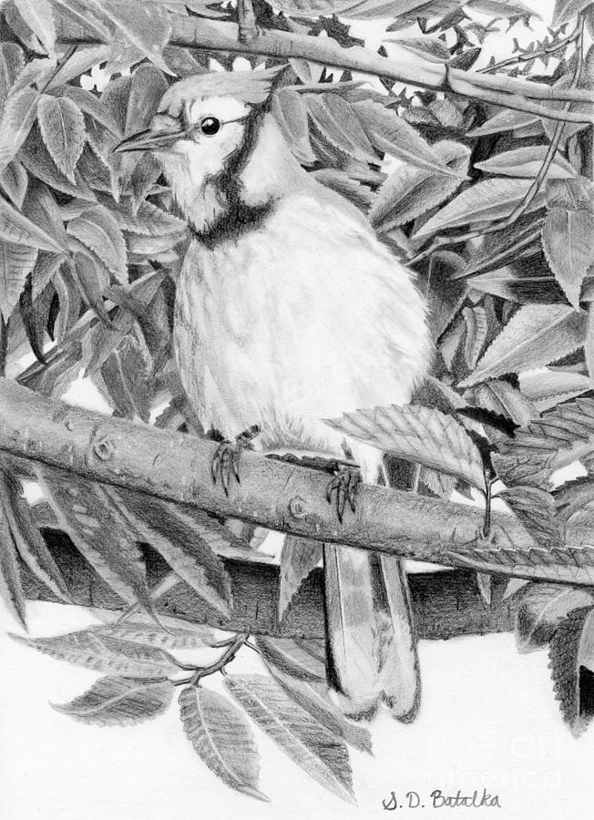 blue jay drawing bluejay black and white drawingjpg black and white jay drawing blue