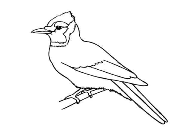 blue jay drawing drawing lesson learn to draw a blue jay drawing jay blue drawing