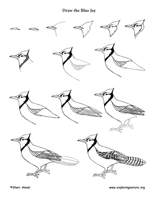 blue jay drawing learn how to draw a blue jay birds step by step drawing blue jay