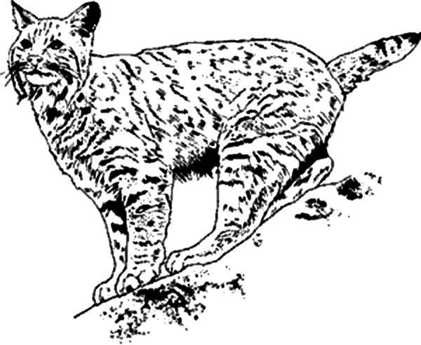 bobcat pictures to color b is for bobcat coloring pages best place to color bobcat pictures color to
