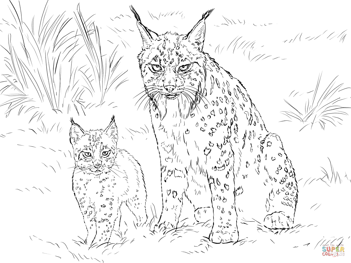 bobcat pictures to color beautiful bobcat coloring pages best place to color pictures color to bobcat