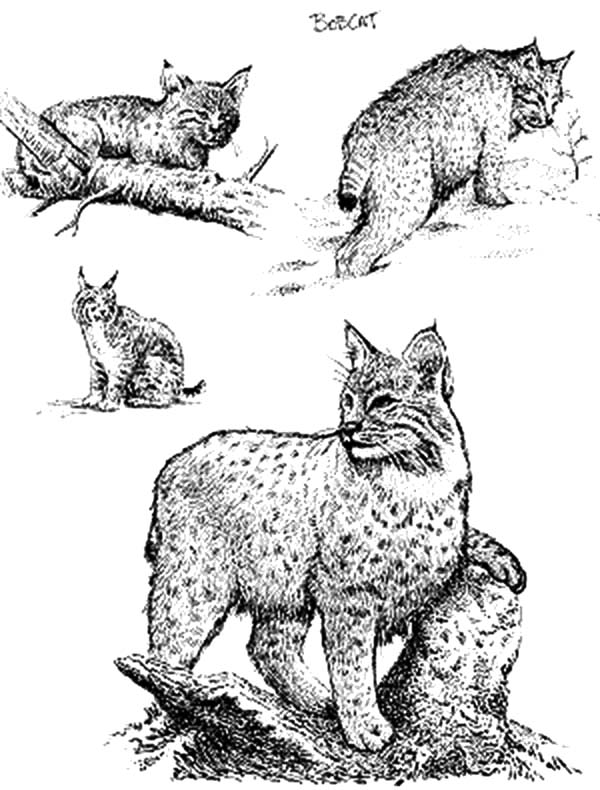 bobcat pictures to color bobcat coloring pages kidsuki pictures to color bobcat