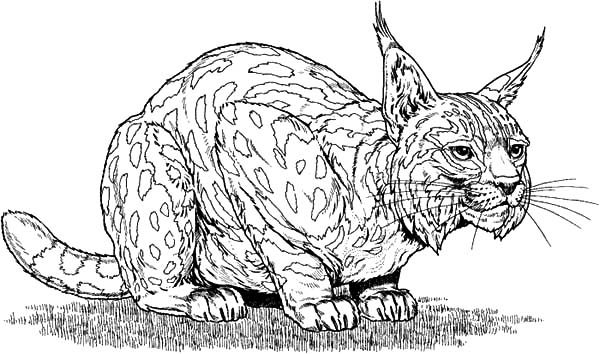 bobcat pictures to color bobcat coloring pages kidsuki to pictures color bobcat