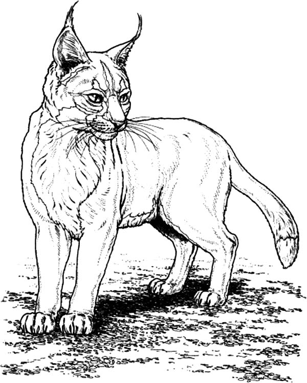 bobcat pictures to color bobcat coloring pages to download and print for free bobcat pictures color to