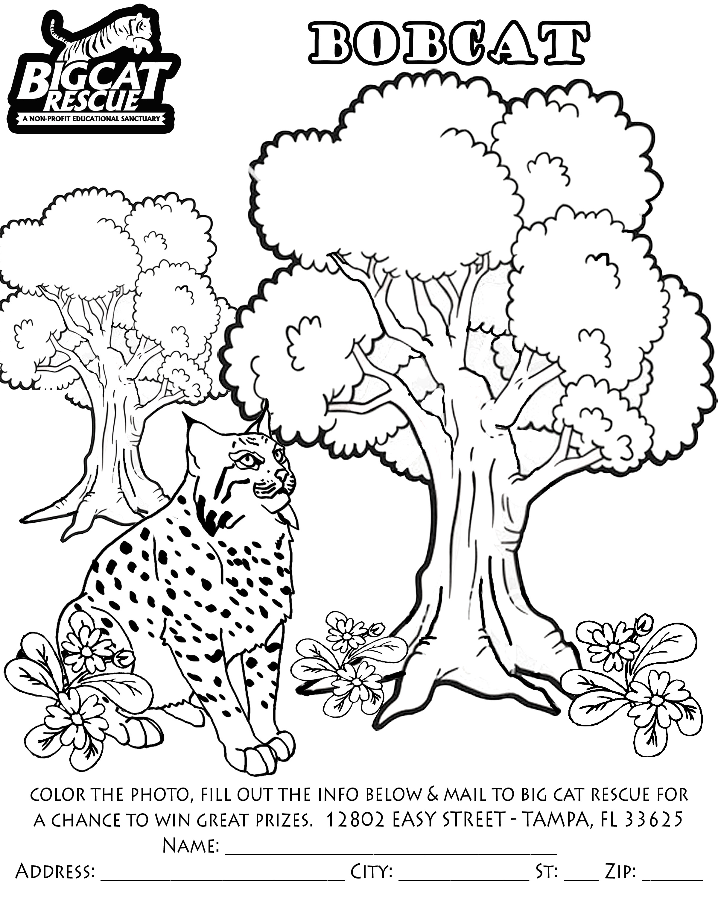 bobcat pictures to color bobcat coloring pages to download and print for free color bobcat to pictures