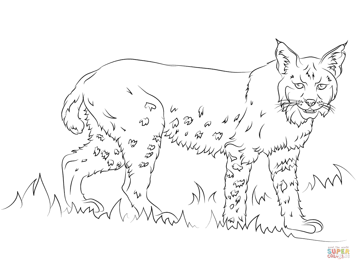 bobcat pictures to color bobcat coloring pages to download and print for free pictures to color bobcat