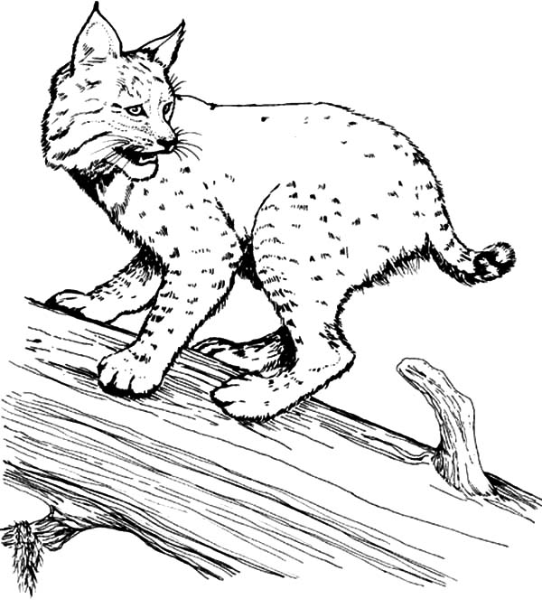 bobcat pictures to color running bobcat coloring page free printable coloring pages to bobcat pictures color