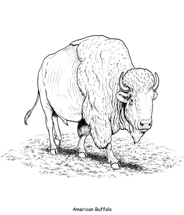 buffalo pictures to color free buffalo coloring pages download and print buffalo to color pictures buffalo