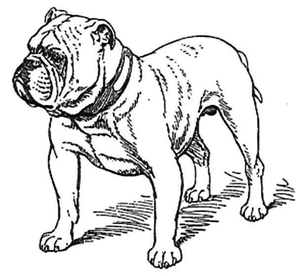 bulldog coloring page bulldog coloring pages animal coloring pages for kids 1 coloring bulldog page