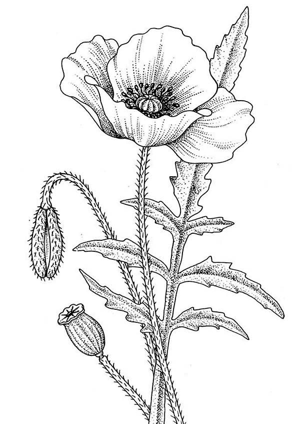 california poppy coloring page beautiful california poppy coloring page kids play color page poppy california coloring