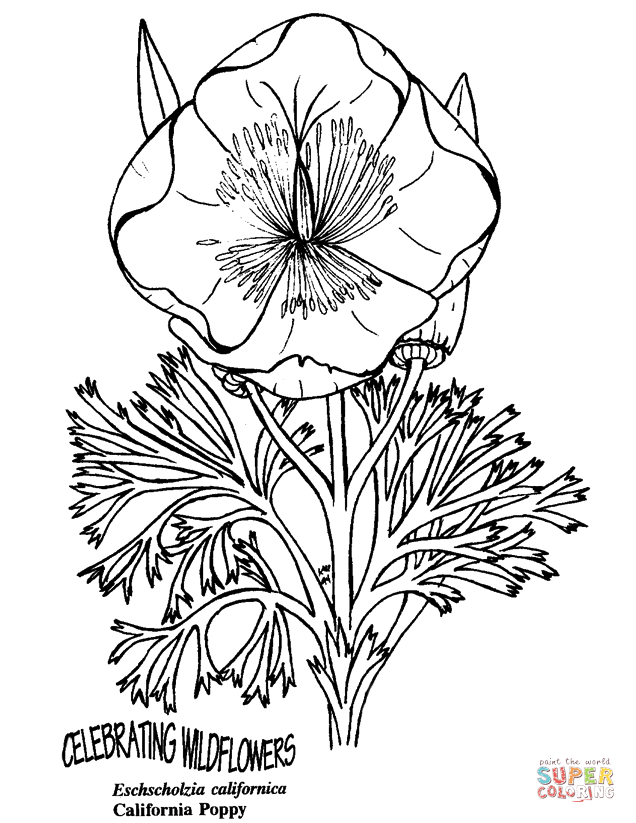 california poppy coloring page picture of blooming california poppy coloring page kids poppy page california coloring
