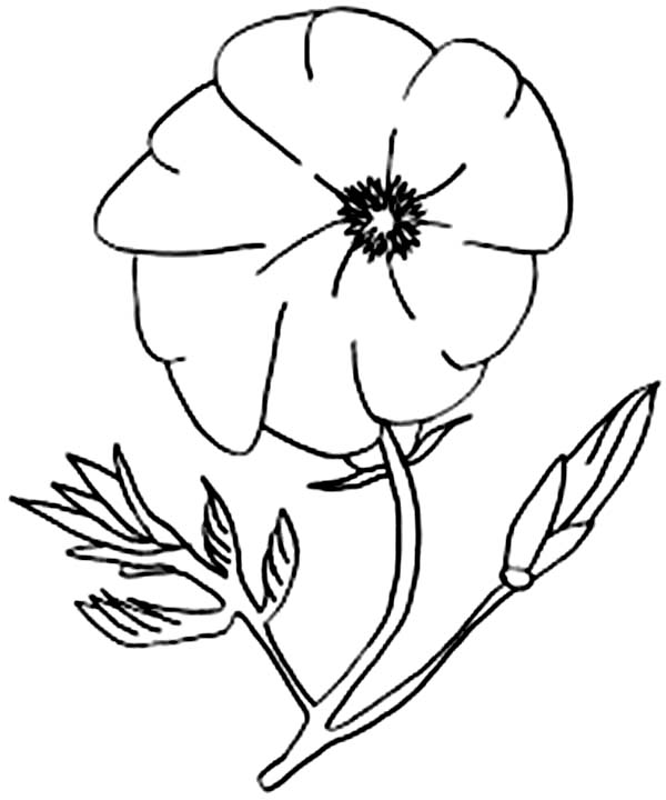california poppy coloring page realistic drawing of california poppy coloring page kids page california poppy coloring