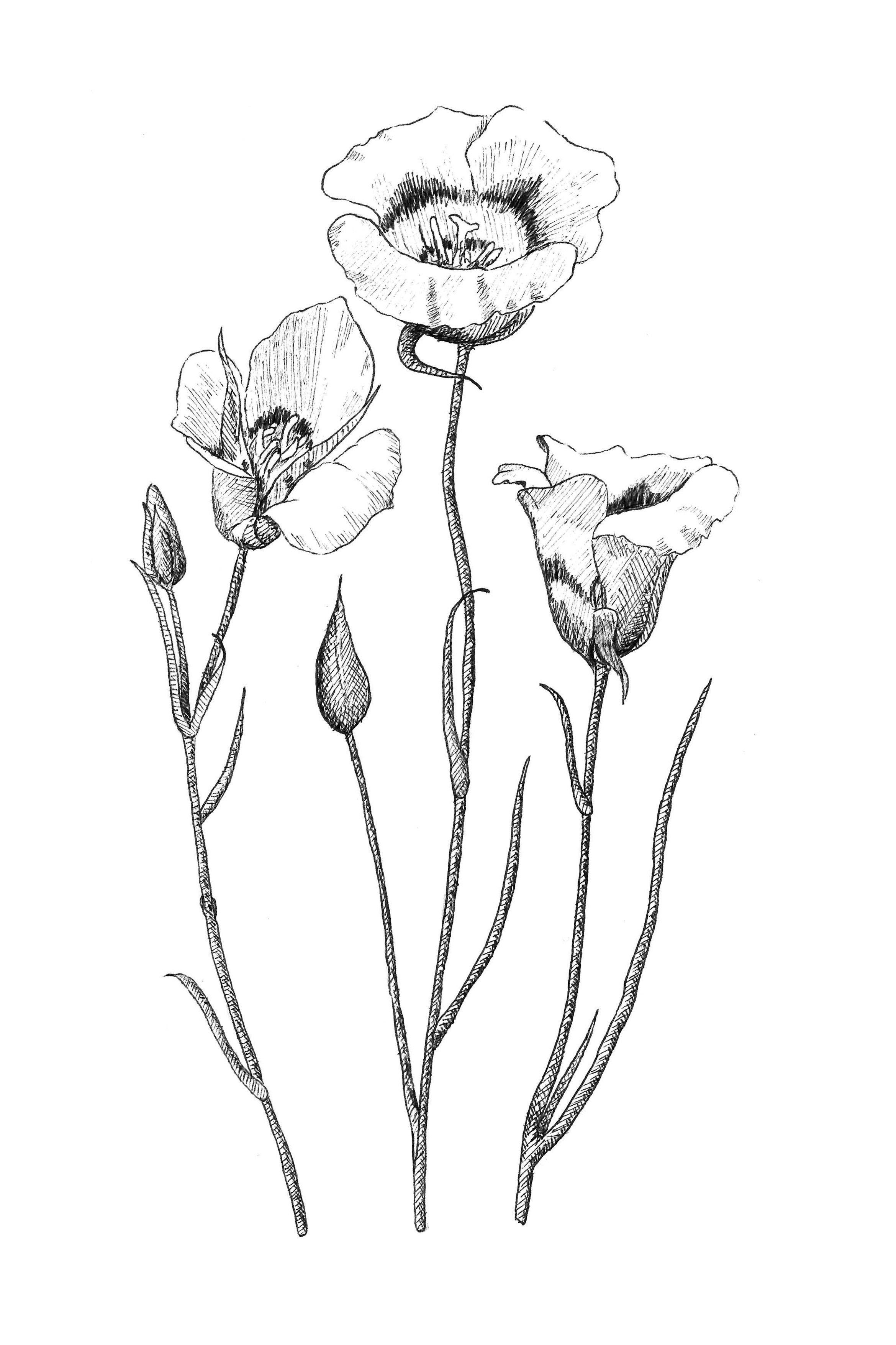 california state flower 50 state flowers coloring pages for kids state california flower