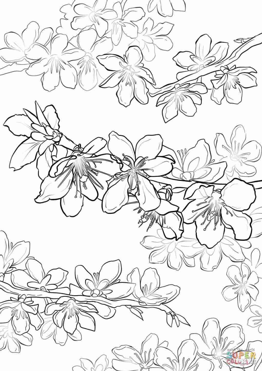 cherry blossom coloring pages coloring pages cherry pages coloring blossom