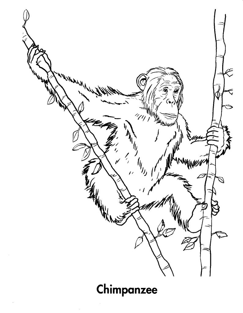 chimpanzee pictures to print chimpanzee coloring page animals town animal color to chimpanzee print pictures