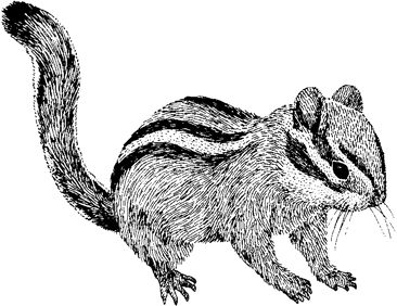 chipmunk drawing 96 best chipmonk sketches and paintings images on drawing chipmunk