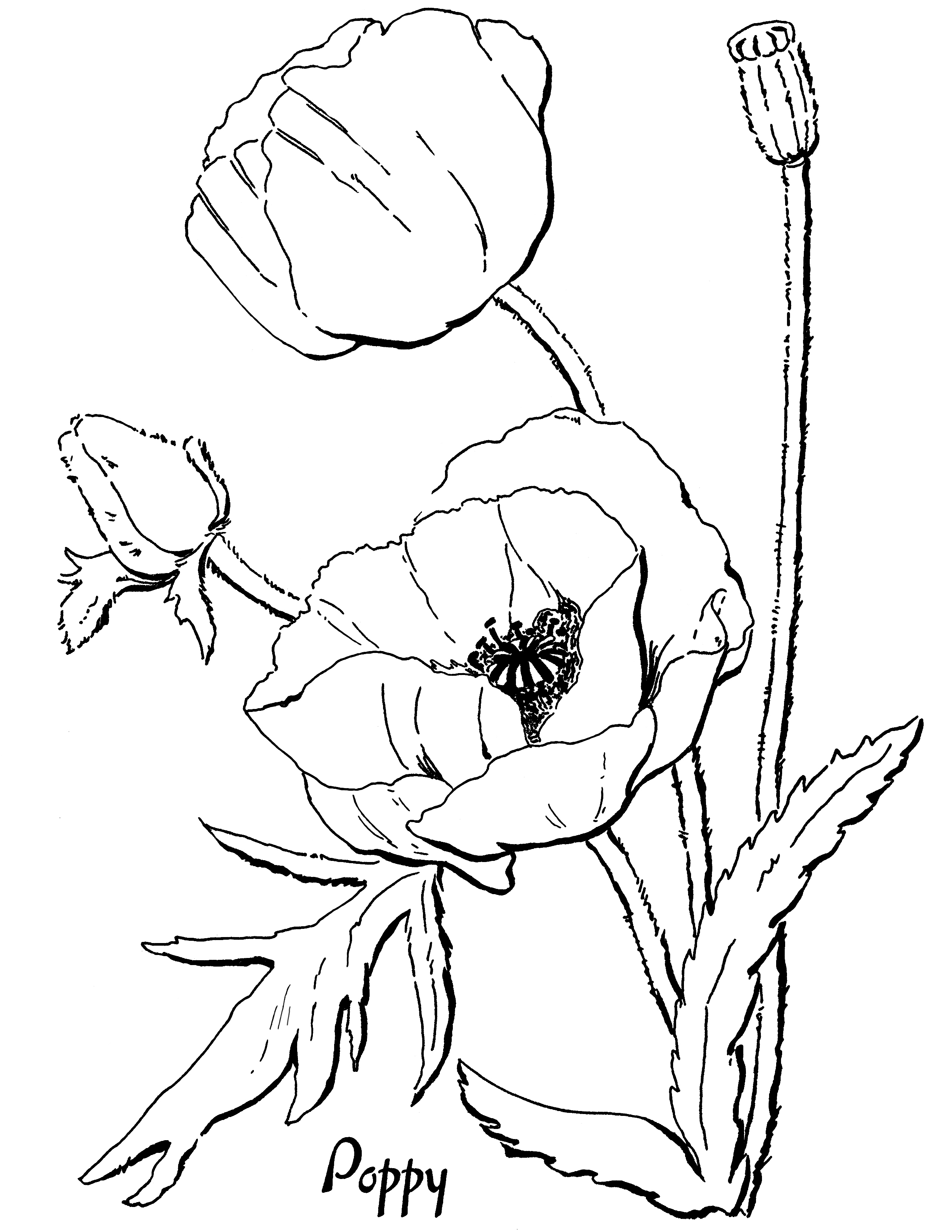 color poppy poppy coloring page for adults the graphics fairy poppy color