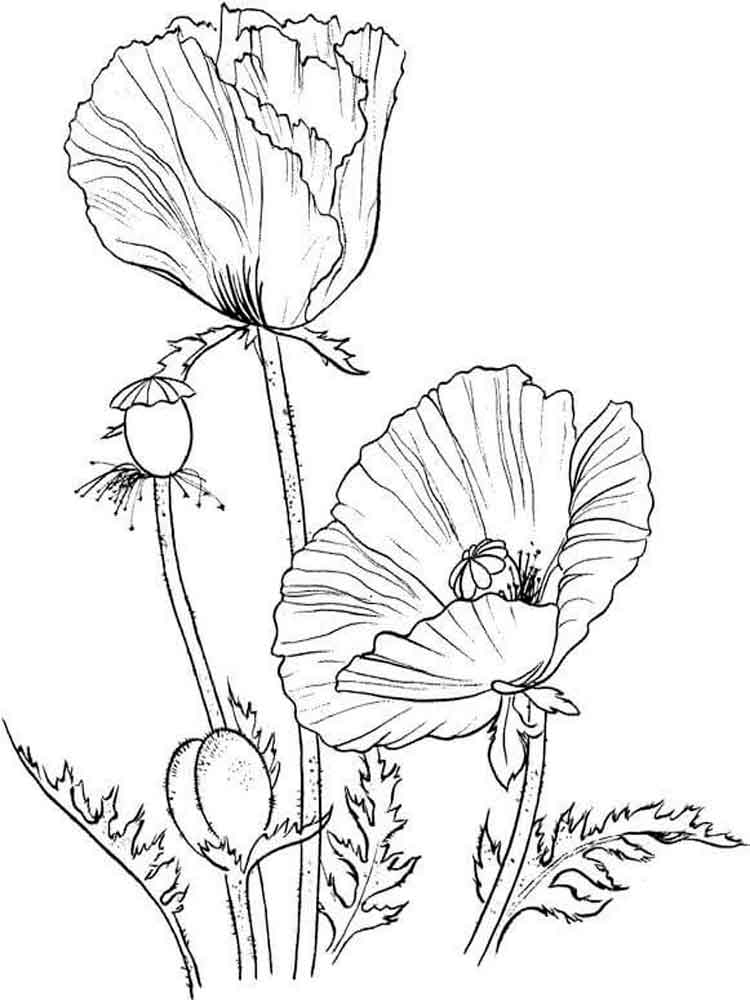 color poppy poppy flower coloring pages download and print poppy color poppy