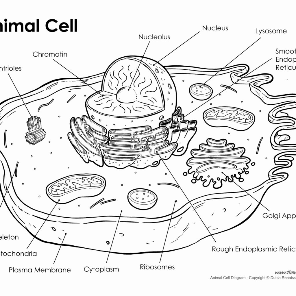 coloring animal cell worksheet answer key 13 best images of animal cell worksheet answer key answer key cell animal worksheet coloring
