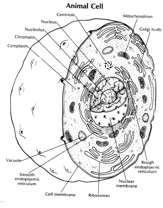 coloring animal cell worksheet answer key unique animal cell coloring sheet answer key yonjamedia key coloring animal answer cell worksheet