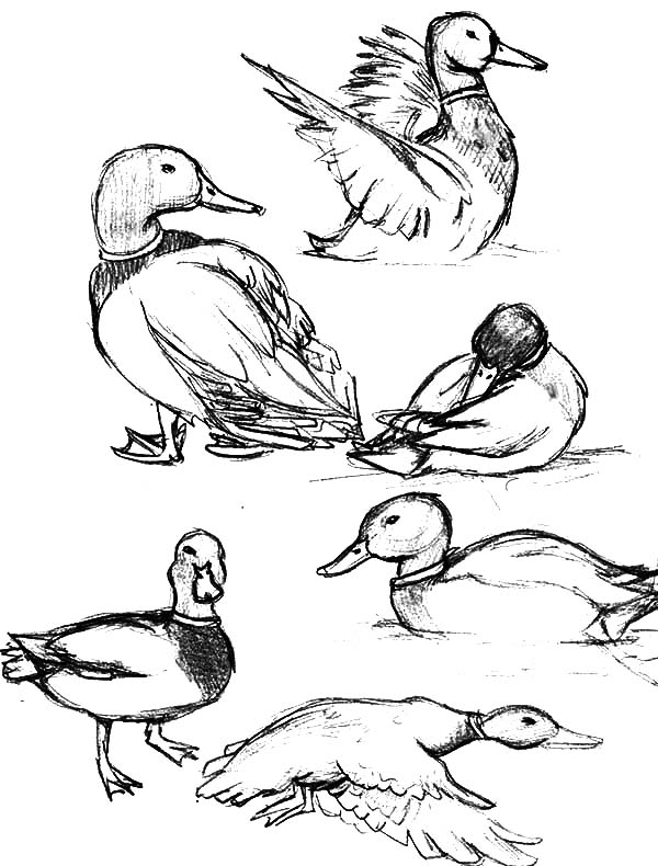 coloring duck line drawing duck clipart clipart best line coloring drawing duck