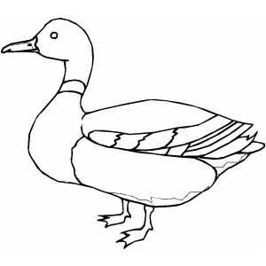 coloring duck line drawing how to draw mallard duck coloring pages color luna coloring drawing duck line