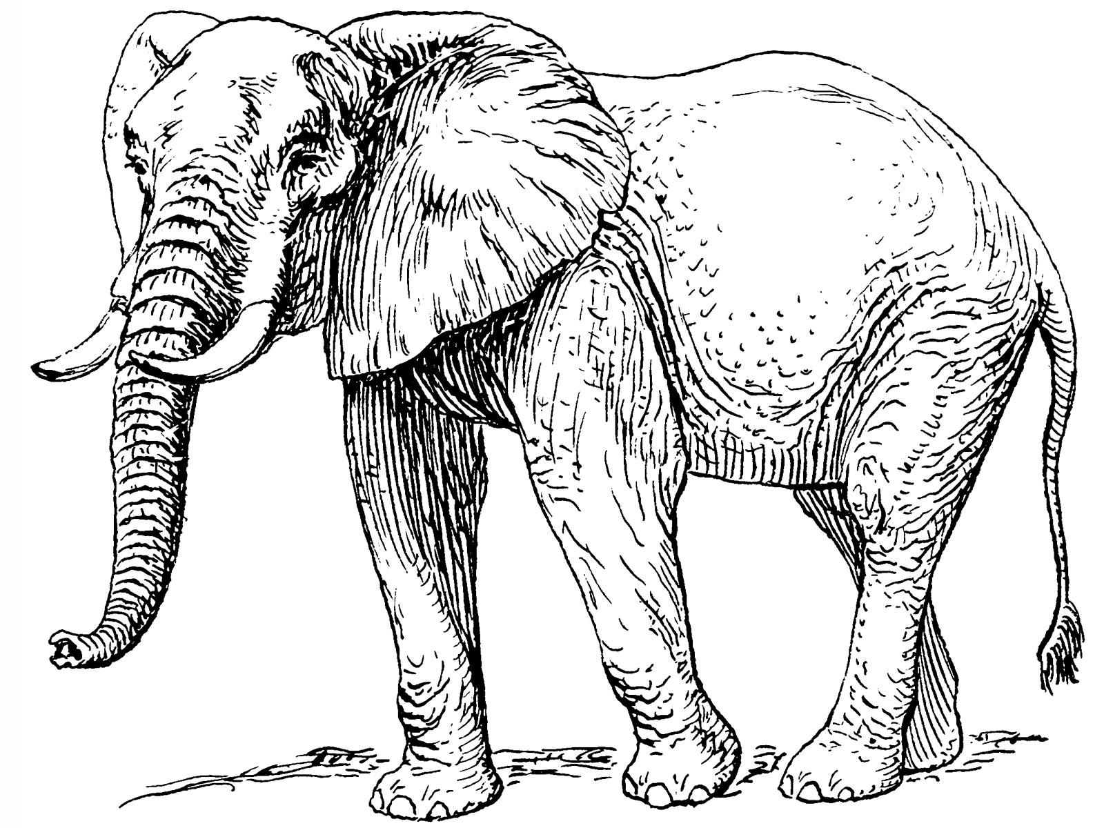 coloring images of animals elephant and the baby elephant images of animals coloring