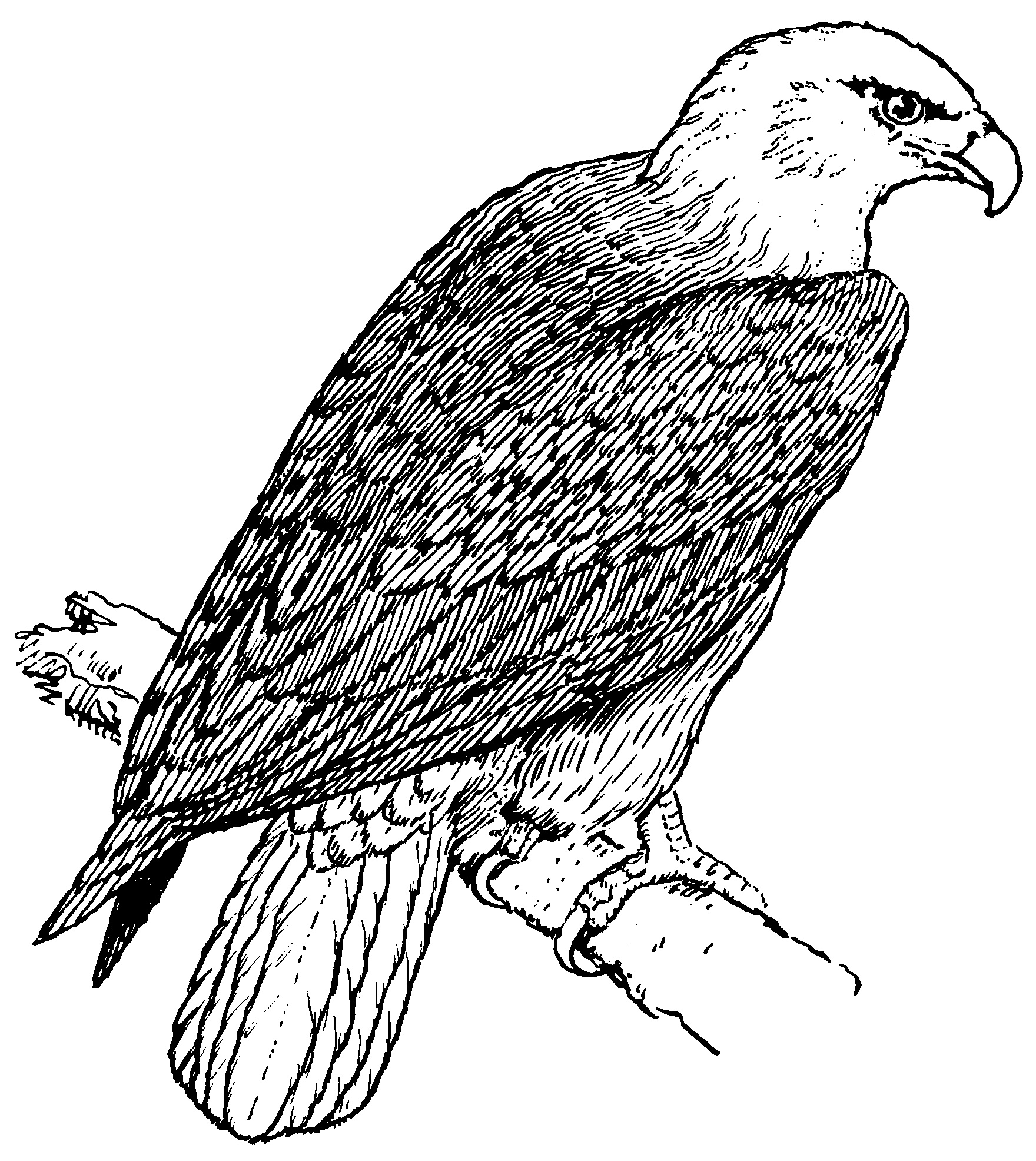 coloring pages of bald eagles american bald eagle coloring page free printable coloring pages of bald eagles