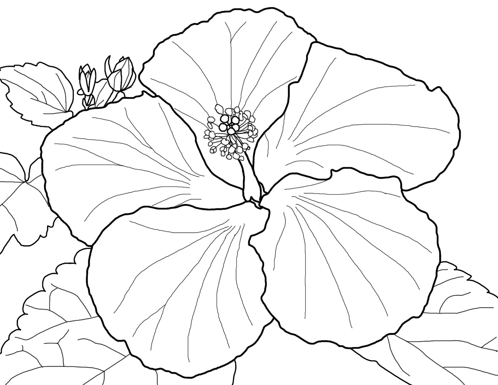 coloring pic of flower beautiful red hibiscus flower colouring pages picolour coloring pic flower of