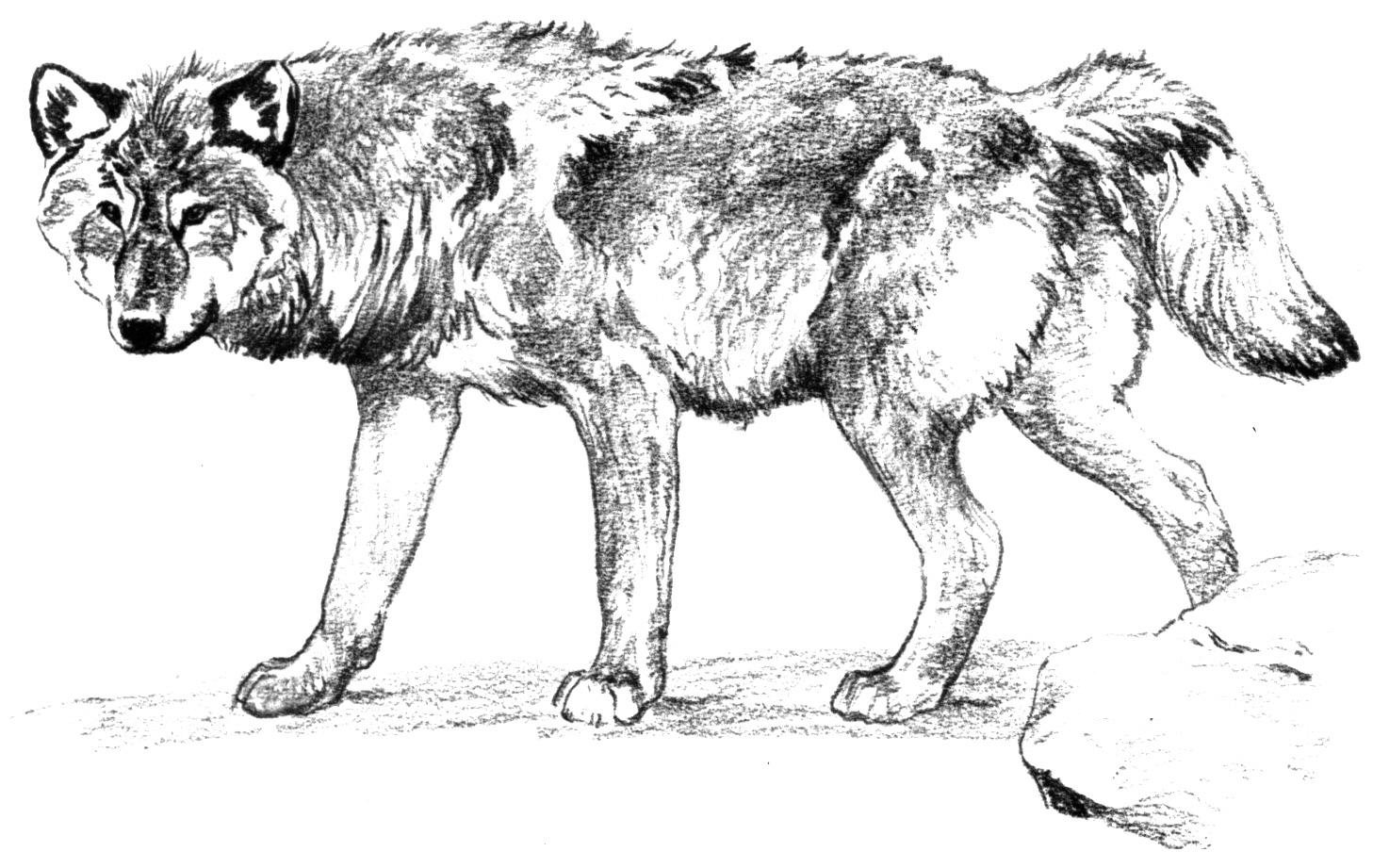 coloring picture of wolves free printable wolf coloring pages for kids of wolves picture coloring