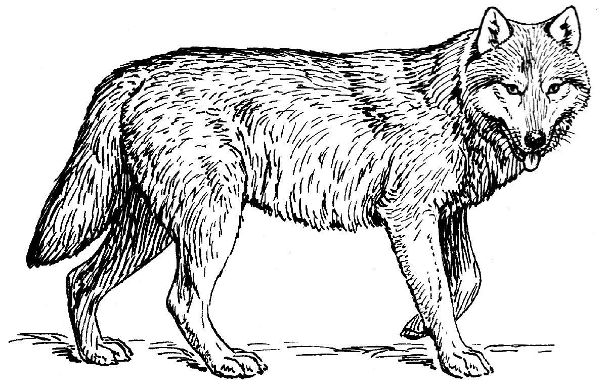 coloring picture of wolves print download wolf coloring pages theme picture coloring of wolves