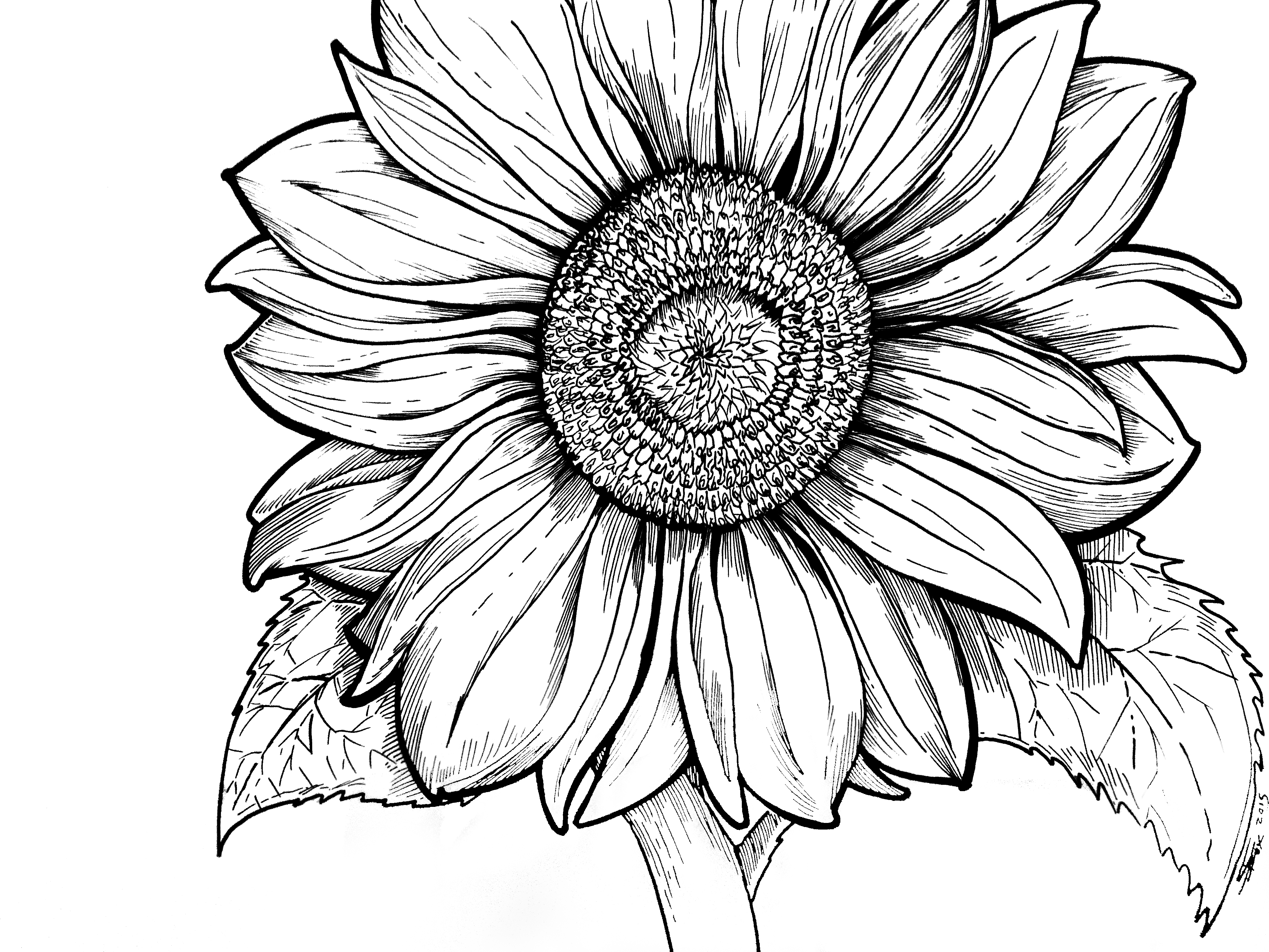 coloring pictures of sunflowers sunflower is blooming coloring page sunflower is blooming of sunflowers pictures coloring