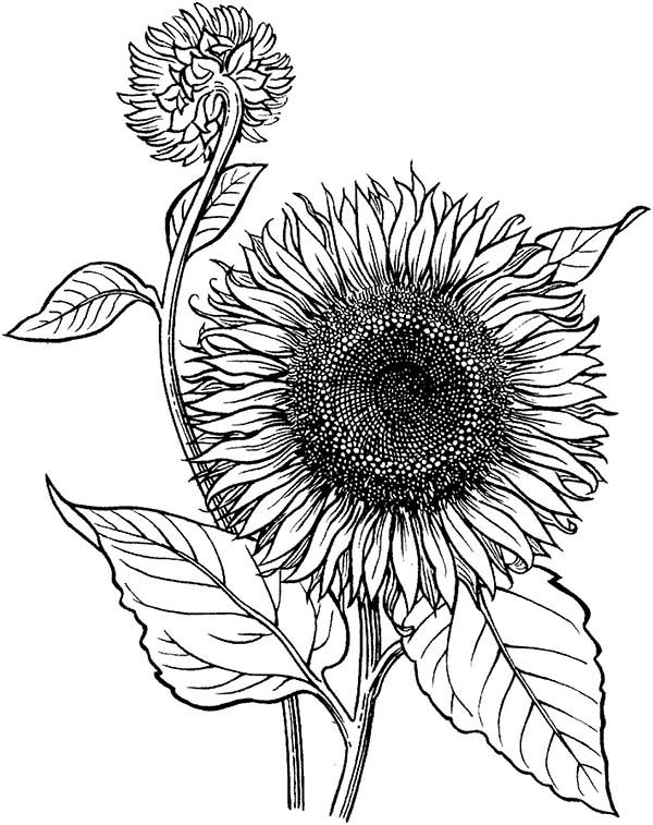 coloring sunflower printable sunflower coloring page at getdrawings free download sunflower printable coloring