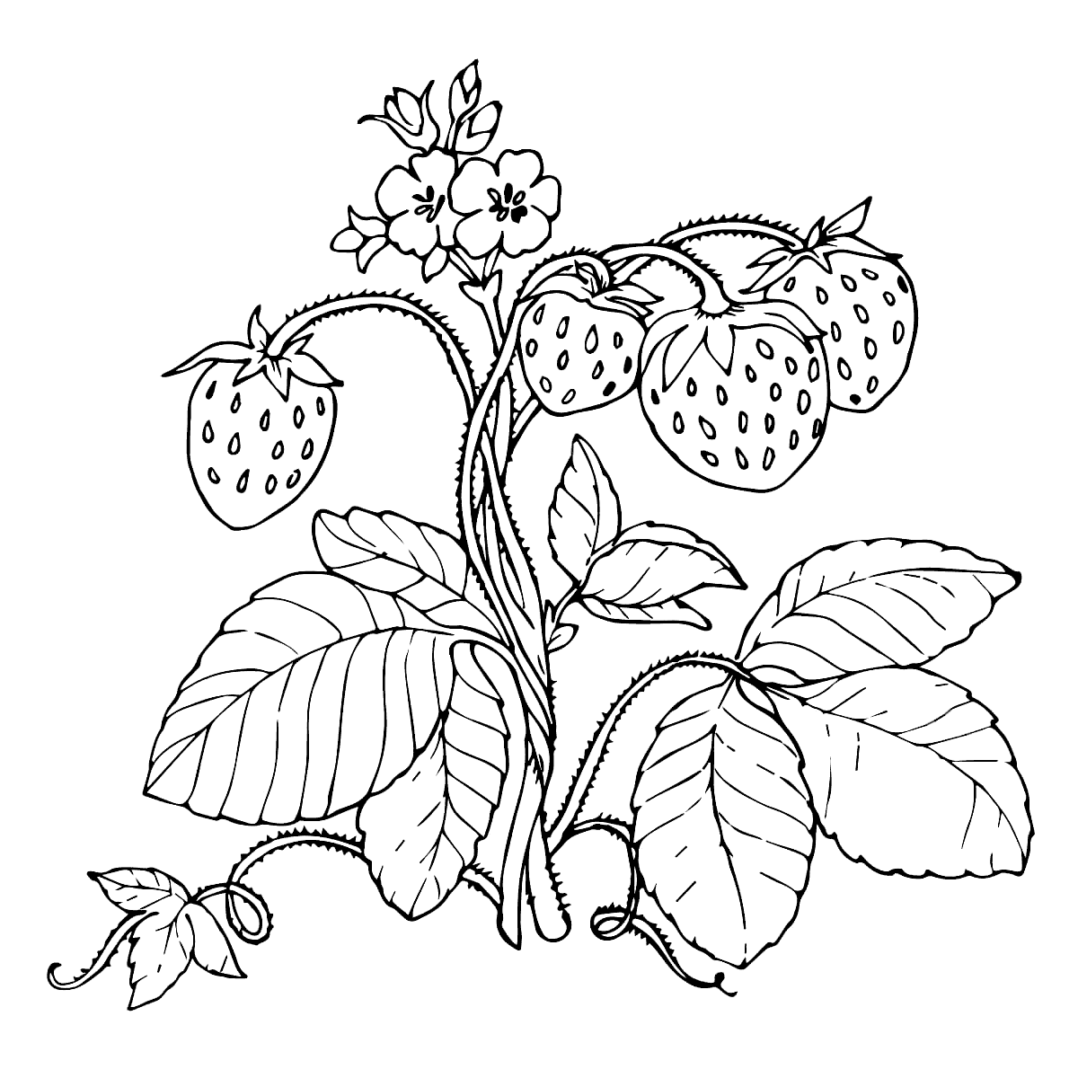 colouring pages of strawberry strawberry colouring page part 2 free resource for of strawberry colouring pages