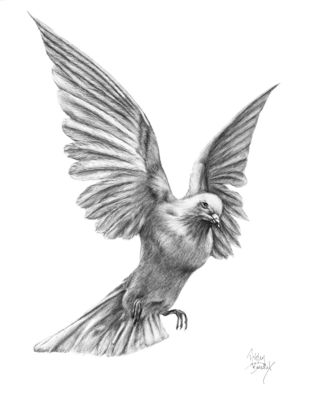 dove drawing collection of free doves drawing mourning dove download drawing dove