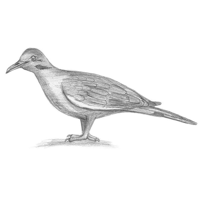 dove drawing dove drawing tattoo at getdrawings free download drawing dove