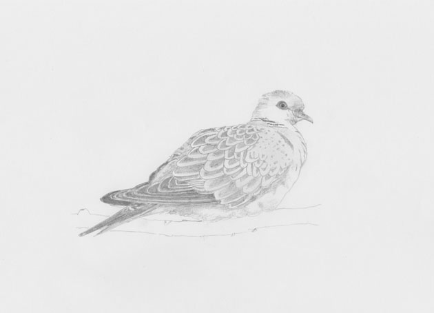 dove drawing how to draw a simple dove paloma bird drawing dove drawing