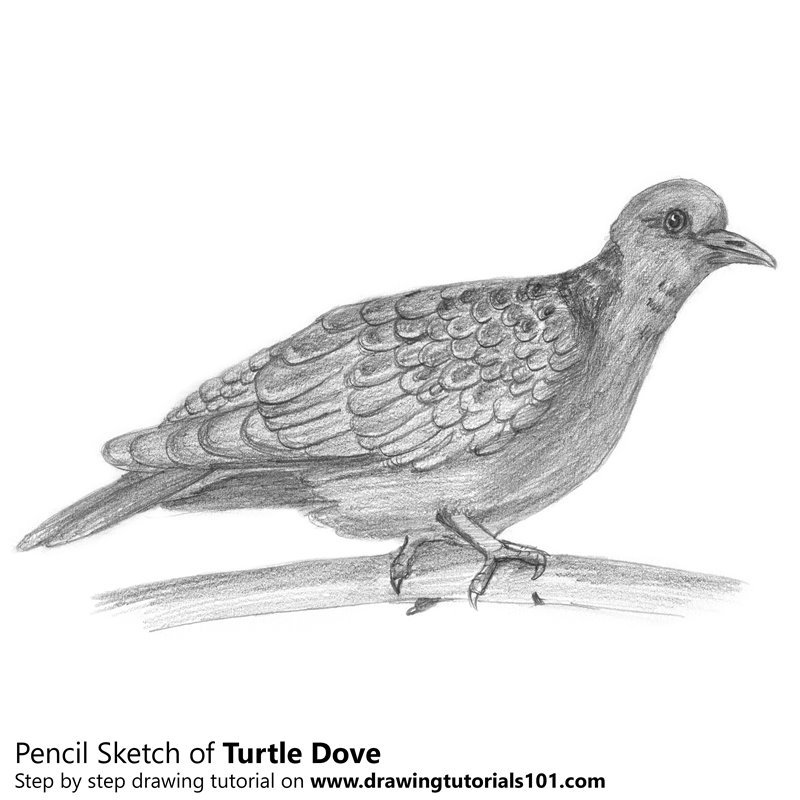 dove drawing pigeon drawing color rock dove free transparent dove drawing