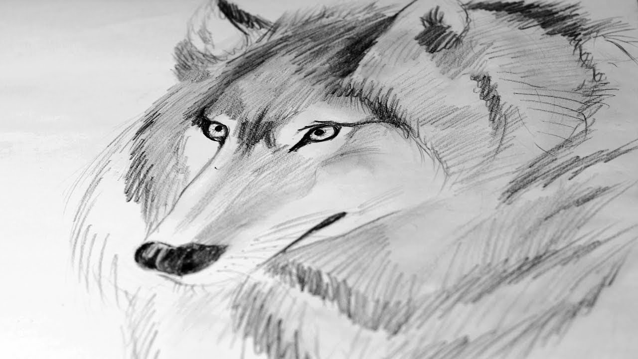 draw wolf arctic wolf pencil drawing art print a3 a4 sizes signed draw wolf