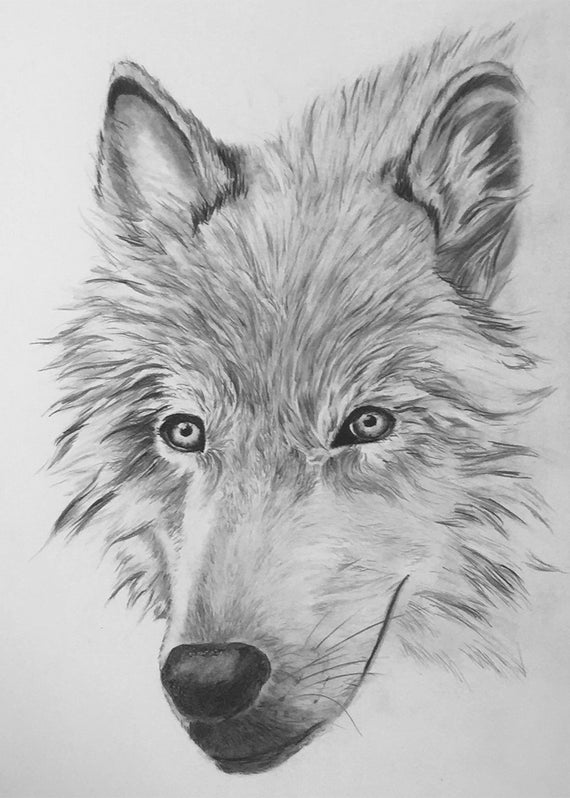 draw wolf arctic wolves drawing drawing by catherine roberts wolf draw