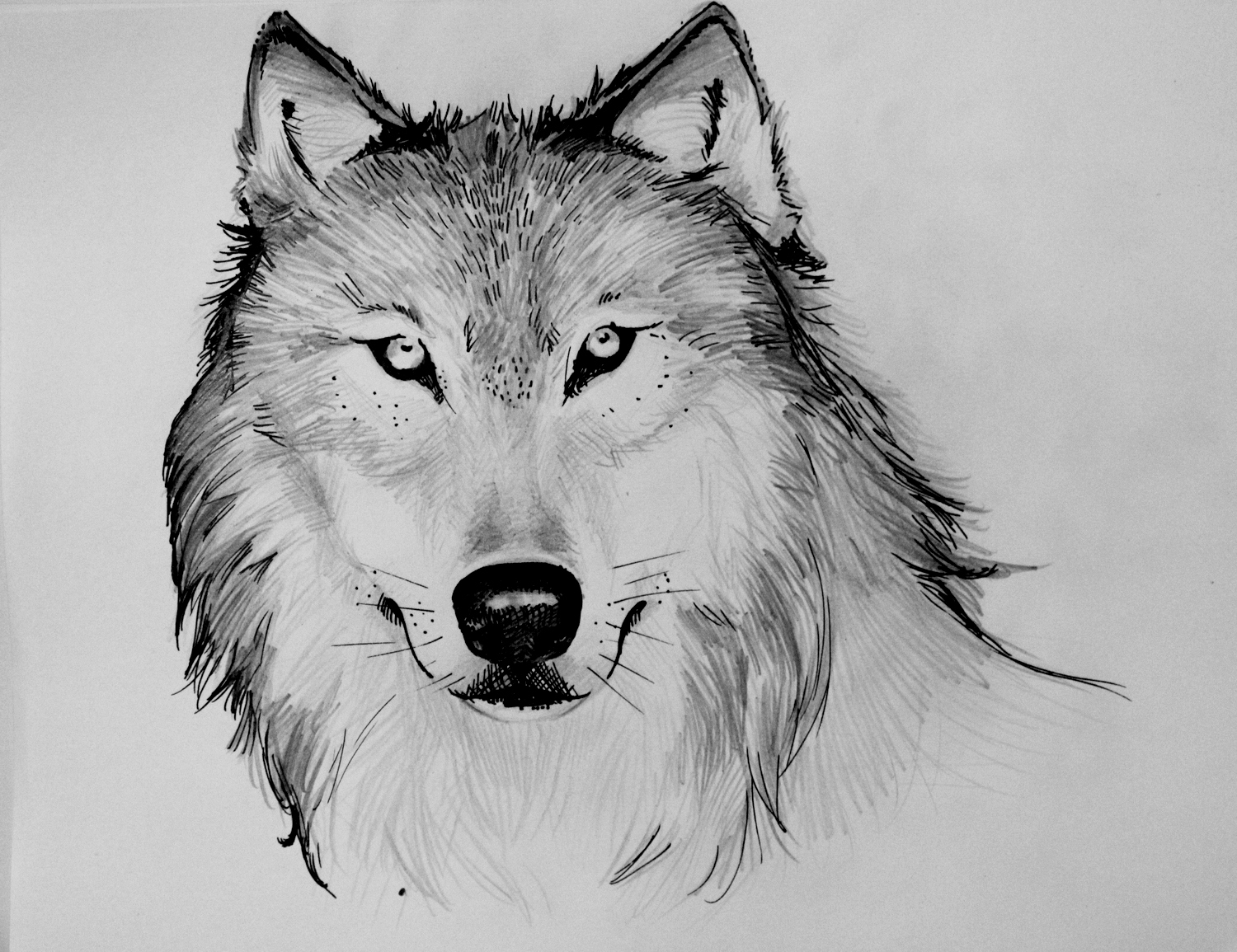 draw wolf black wolf drawing at getdrawings free download draw wolf