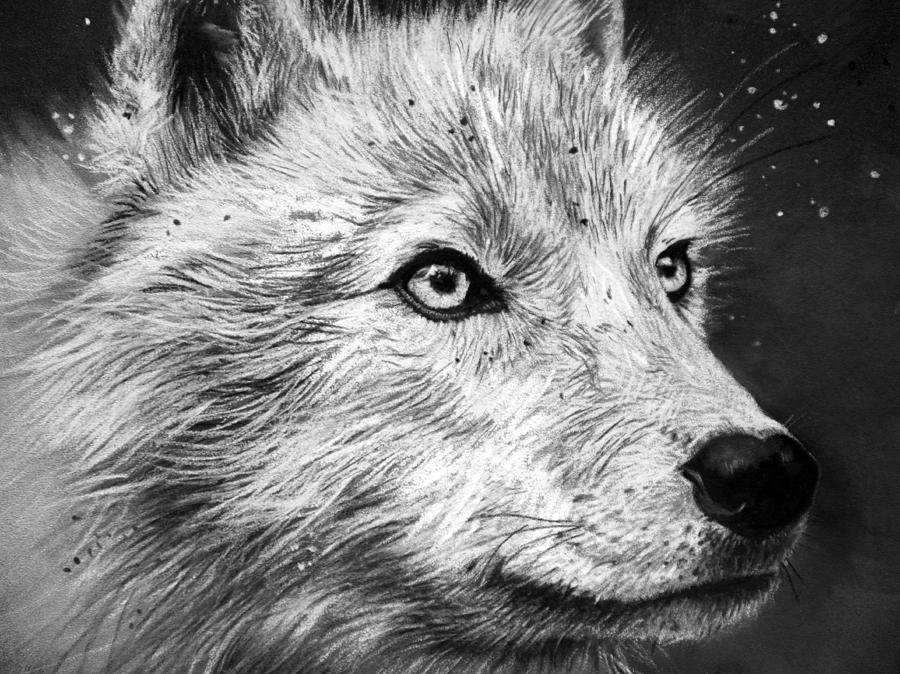 draw wolf graphite drawing of wolf defining the west wolf draw