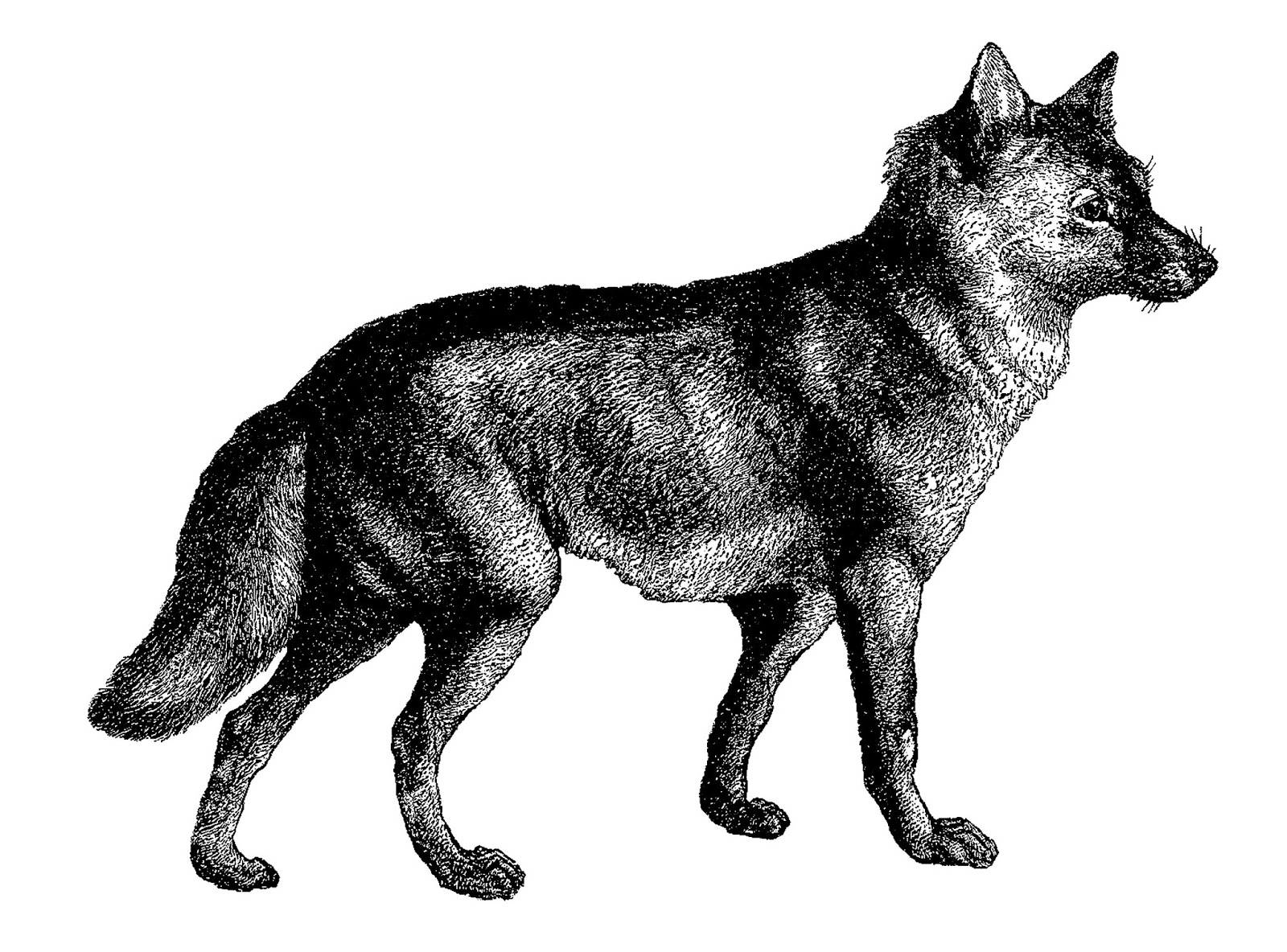 draw wolf items similar to wolf drawing print of original pencil wolf draw